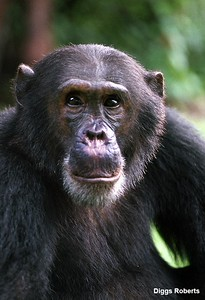"""Chimpanzee Freud was the alpha male at Gombe until his younger brother Frodo challenged him. """