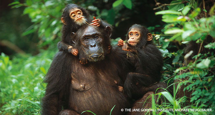"""""""Twins Golden and Glitter with their mother Gremlin at Gombe National Park in Tanzania. The twins were the first pair to survive past infancy at Gombe."""""""