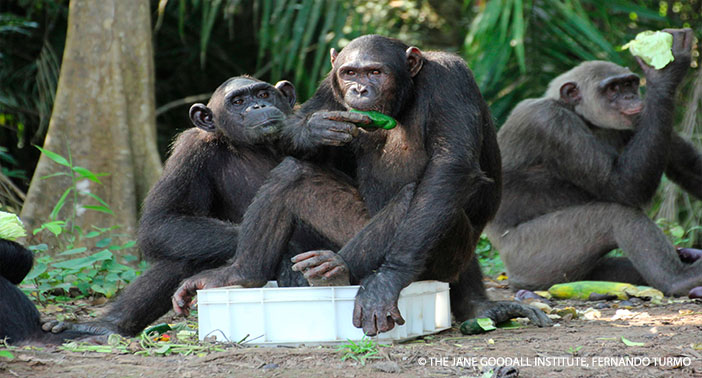 Tchimpounga Chimps