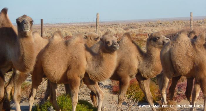 Camel breeding centre