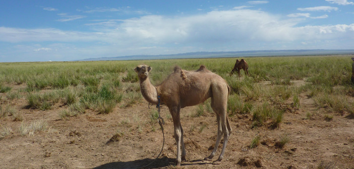 Camel breeding centre.