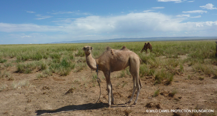 Good News For The Criti Y Endangered Wild Camel