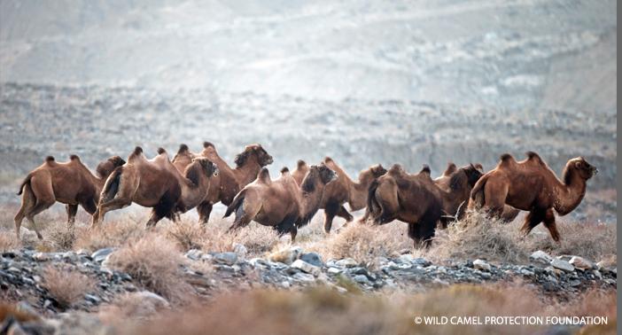 Wild camel herd.