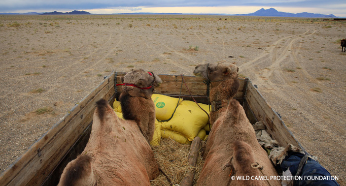Transporting the young camels to be released.