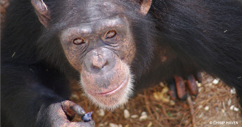 Chimpanzee looks to the open sky at Chimp Haven