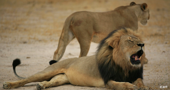 cecil_lion