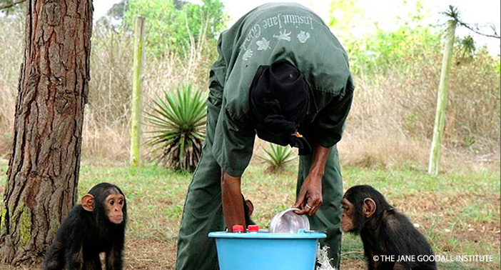 Orphan baby chimps wait for their caretaker to give them milk at the JGI Tchimpounga Chimpanzee Rehabilitation Centerin the Republic of the Congo.