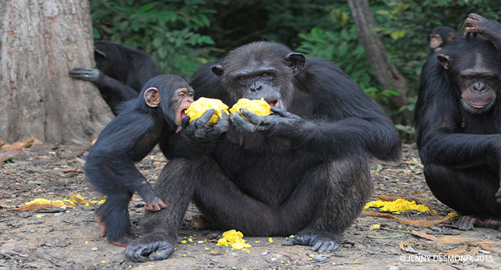 A New Year: A New Outlook for Abandoned Chimpanzees in Liberia