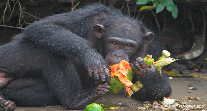 14 year old Mallak dines on fresh fruit. After increasing meal frequency, the Desmonds report that the chimpanzees are noticeably more relaxed during feeding time.