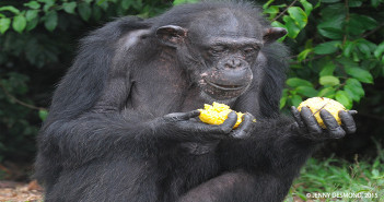 At 41, Samantha is the oldest chimpanzee who was abandoned by New York Blood Center.