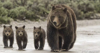 Photo by Tom Mangelsen from Grizzly: The Story of Mother Grizzly 399 and the Bears of Yellowstone