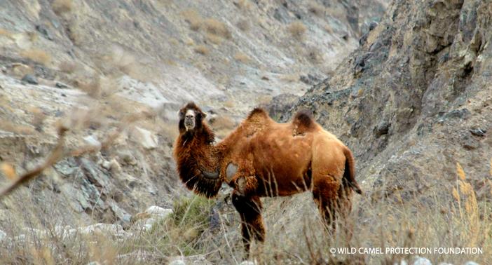 Wild-Camel-Photo-WM-CR