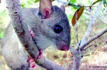 Key Largo Wood Rat