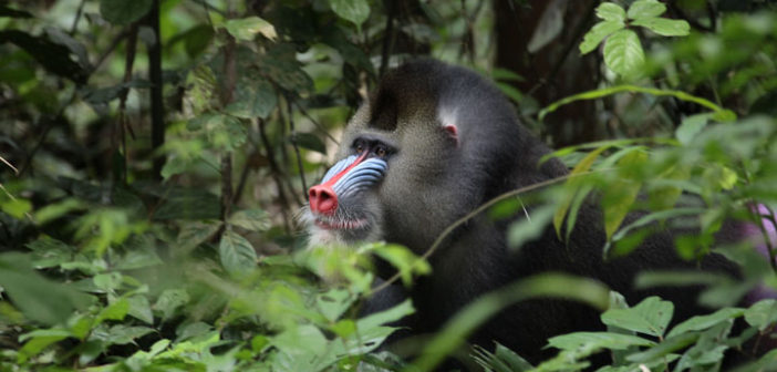Male Mandrill in the forest
