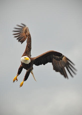 Bald Eagle fishing in Howe Sound.