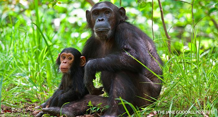 Gombe Chimps