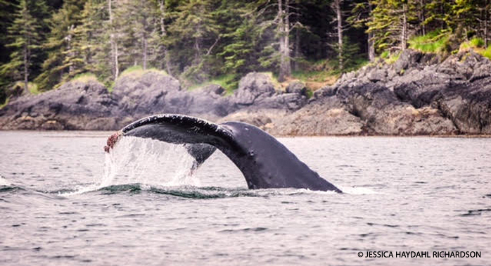 Pacific Humpback Whale sounding in the Salish Sea.