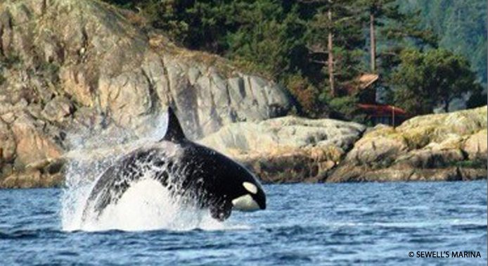 Transient Orca (Killer) Whale hunting in Howe Sound.