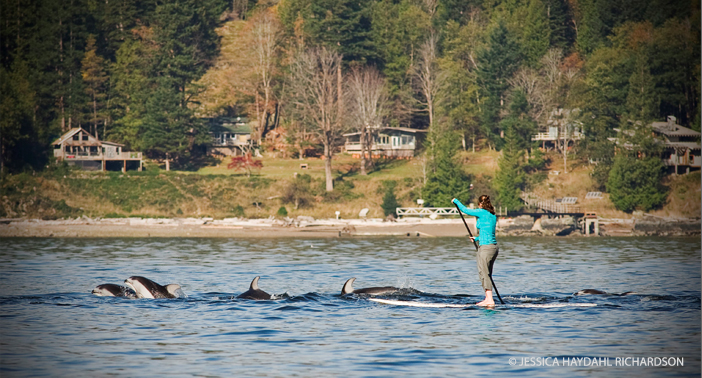A paddle boarder is escorted by White-Sided Dolphins off Bowyer Island.