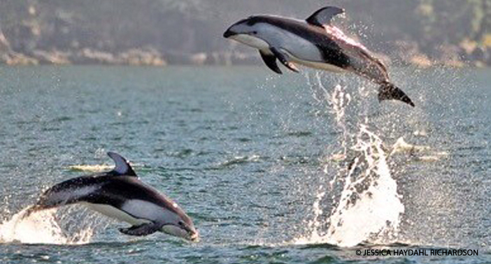 White-Sided Dolphins cavorting in Howe Sound.