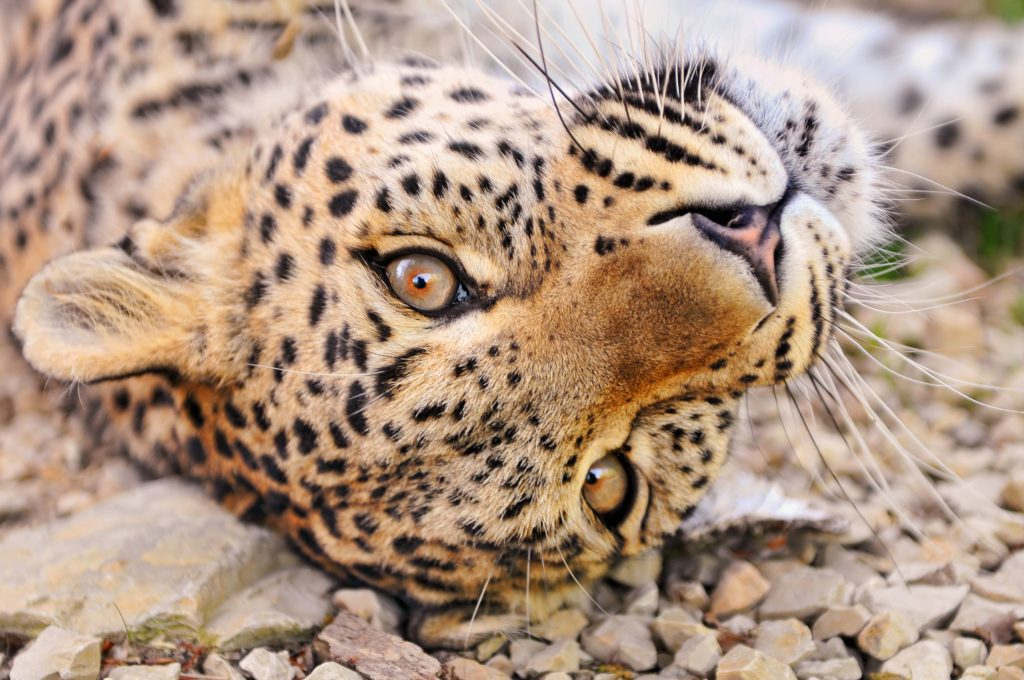 via Tambako The Jaguar Flickr