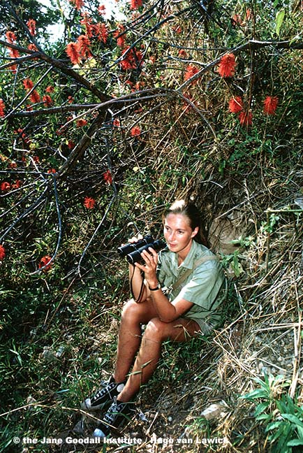 Researcher Jane Goodall spent countless hours hidden in the vegetation, observing the chimps through binoculars.
