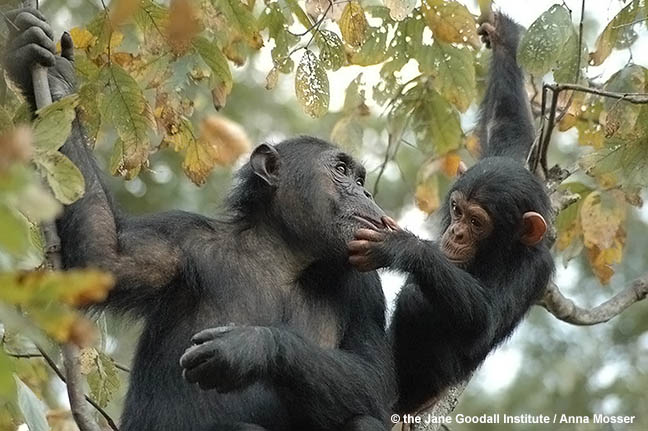 Chimpanzees Bahati and her baby Baroza at Gombe National Park, Tanzania.