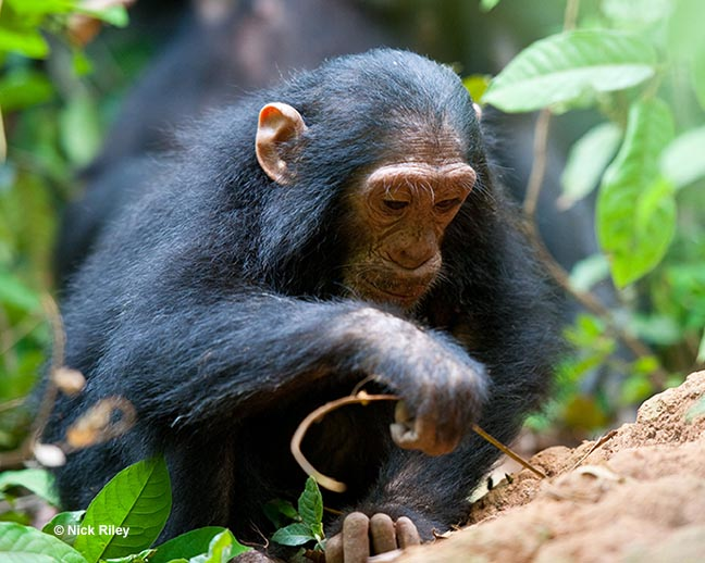 Chimp Zinda fishing for termites in Gombe National Park.