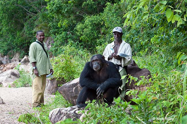 Trackers Iddi and Samson study chimpanzee Titan in Gombe National Park, Tanzania