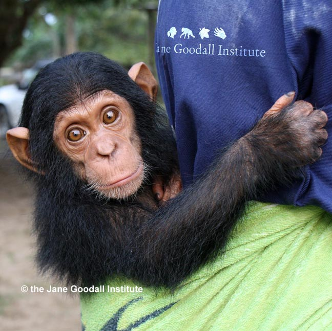 Orphan Zola at the JGI Tchimpounga Chimpanzee Rehabilitation Center in the Republic of Congo.