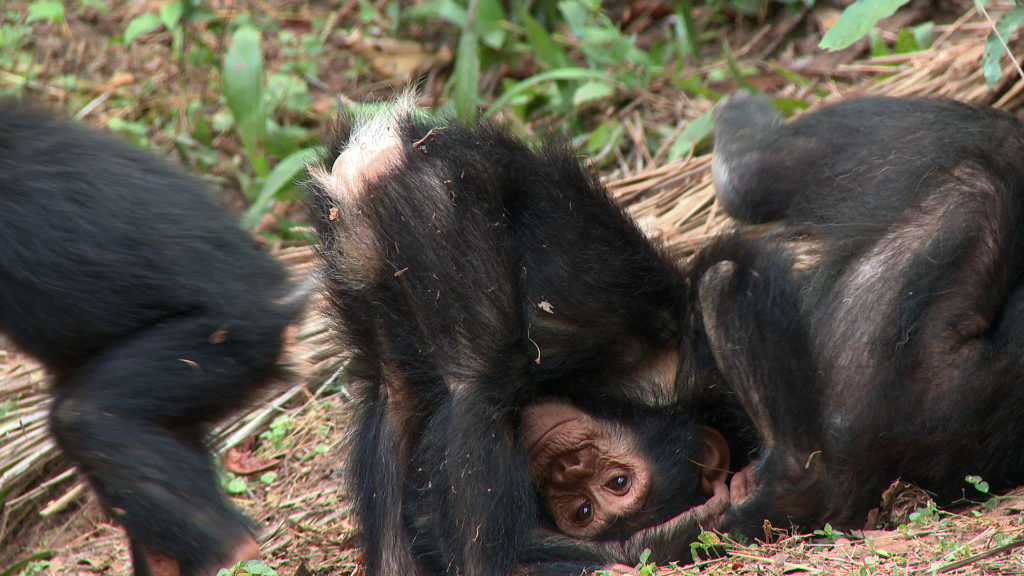 Chimp Footage 2014 03414507 imp