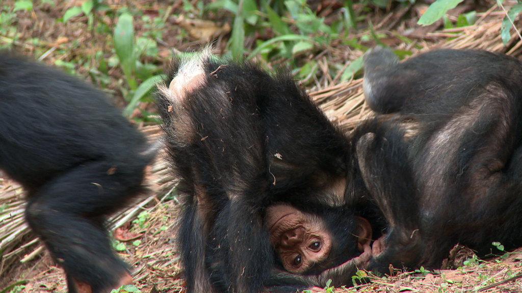 Chimp Footage 2014 03414507 imp