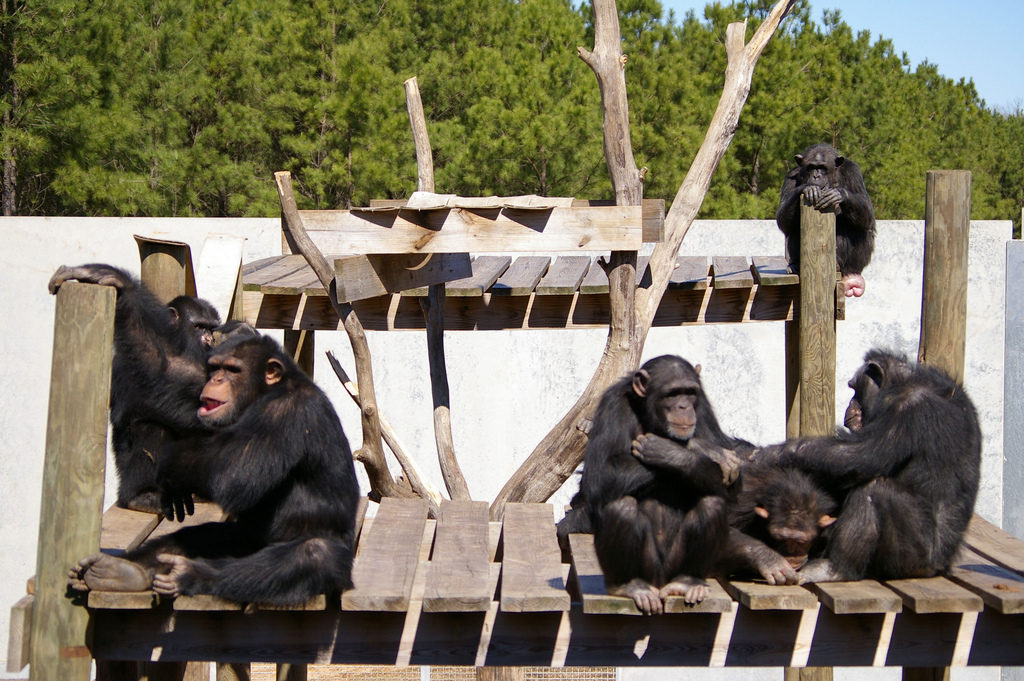 Chimp Haven chimps via Shreveport-Bossier flickr