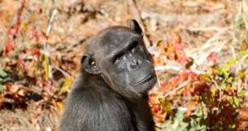 Chimp Haven female chimp via Steve Snodgrass flickr