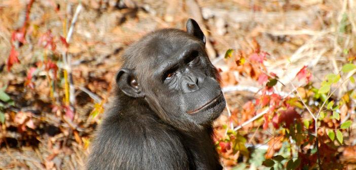 Chimp Haven female chimp via Steve Snodgrass flickr