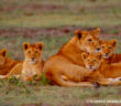 Lion_Tom_Mangelsen_WM_CR