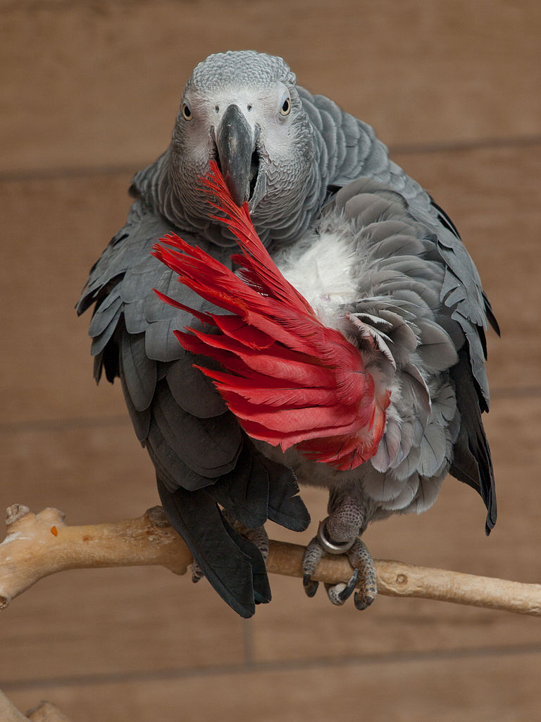 768px-African_grey_parrot