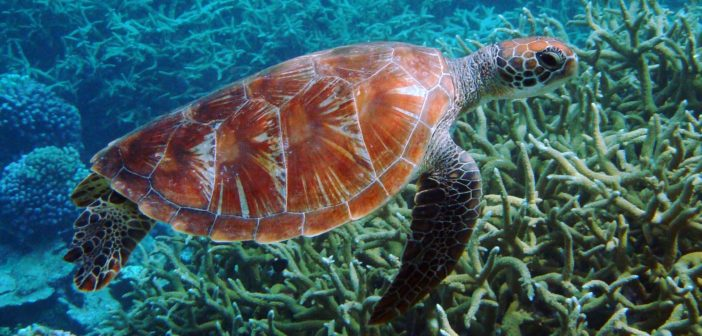 Green_turtle_Palmyra_Atoll_National_Wildlife_Refuge