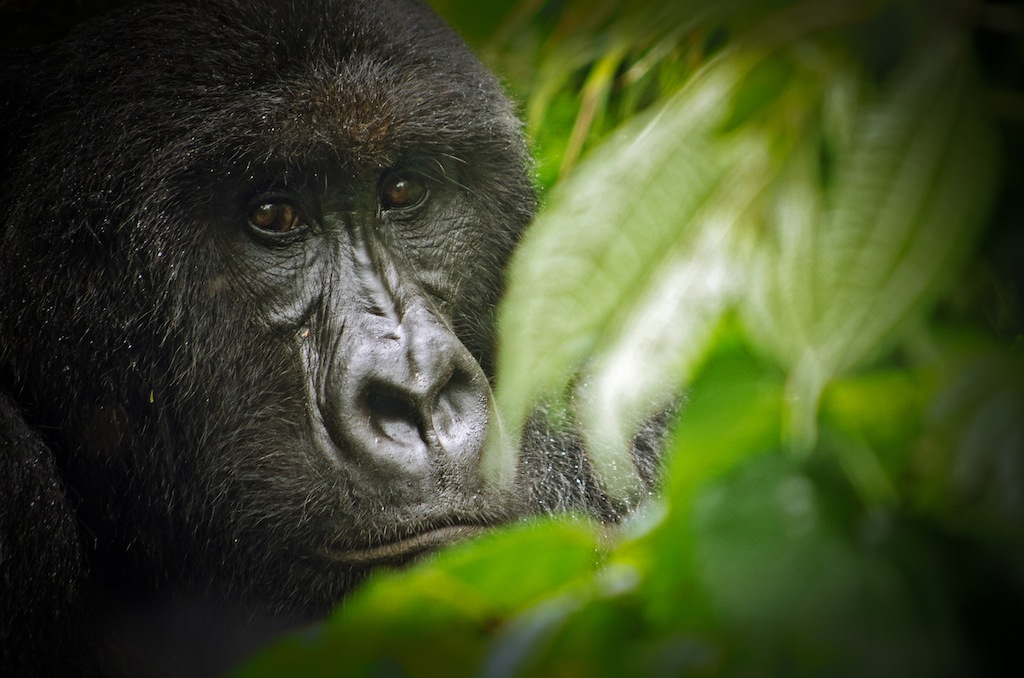 Virunga_National_Park_Gorilla