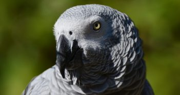 african-grey-parrot-1605714_960_720