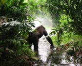 Lost in the Mist: The Fall of the Great Apes