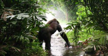 gorilla-61136_960_720