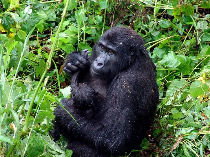 gorilla-in-the-tropical-rain-forest-725x544