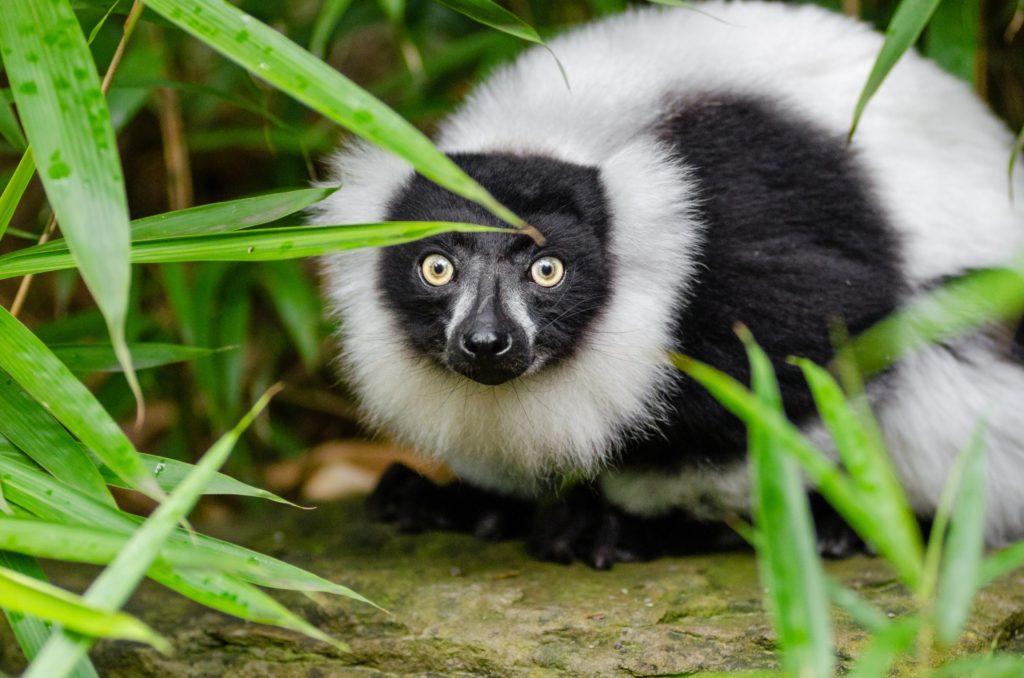 lemurien-de-madagascar-1456514518hbn