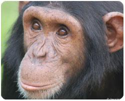 Mowgli, male chimp from JGI South Africa Chimp Eden
