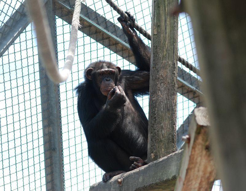 Image: Project Chimps