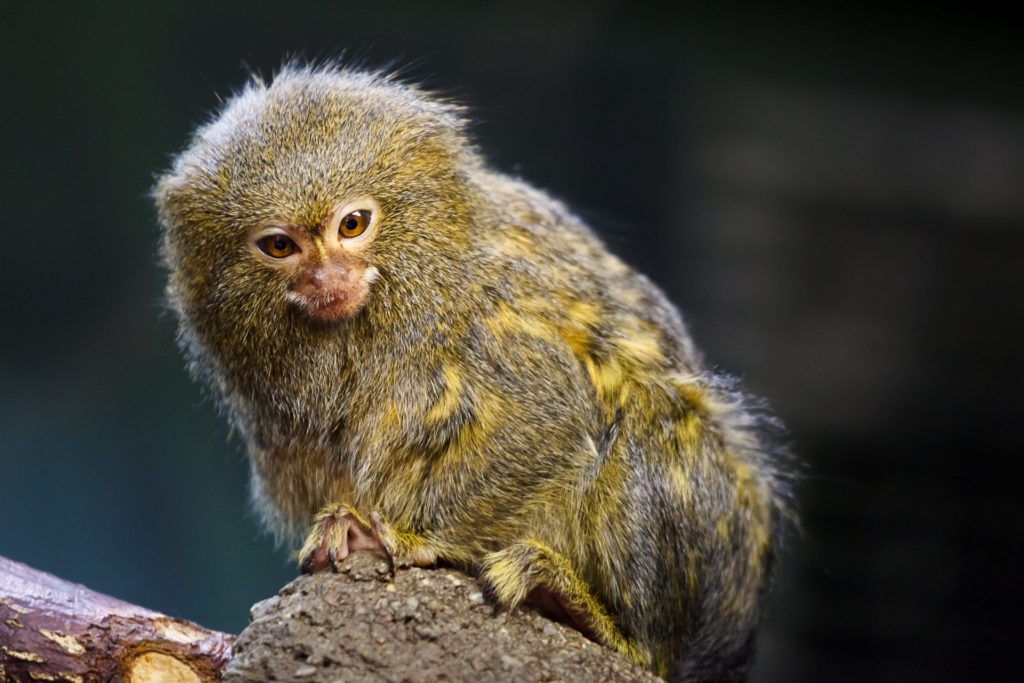 pygmy-marmoset-1440482961tgM