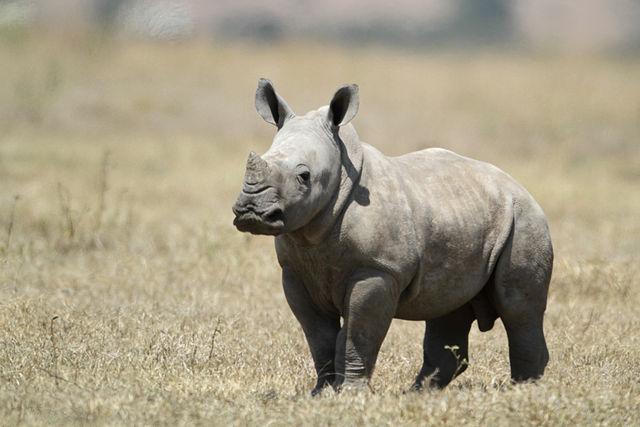 640px-White_Baby_Rhino