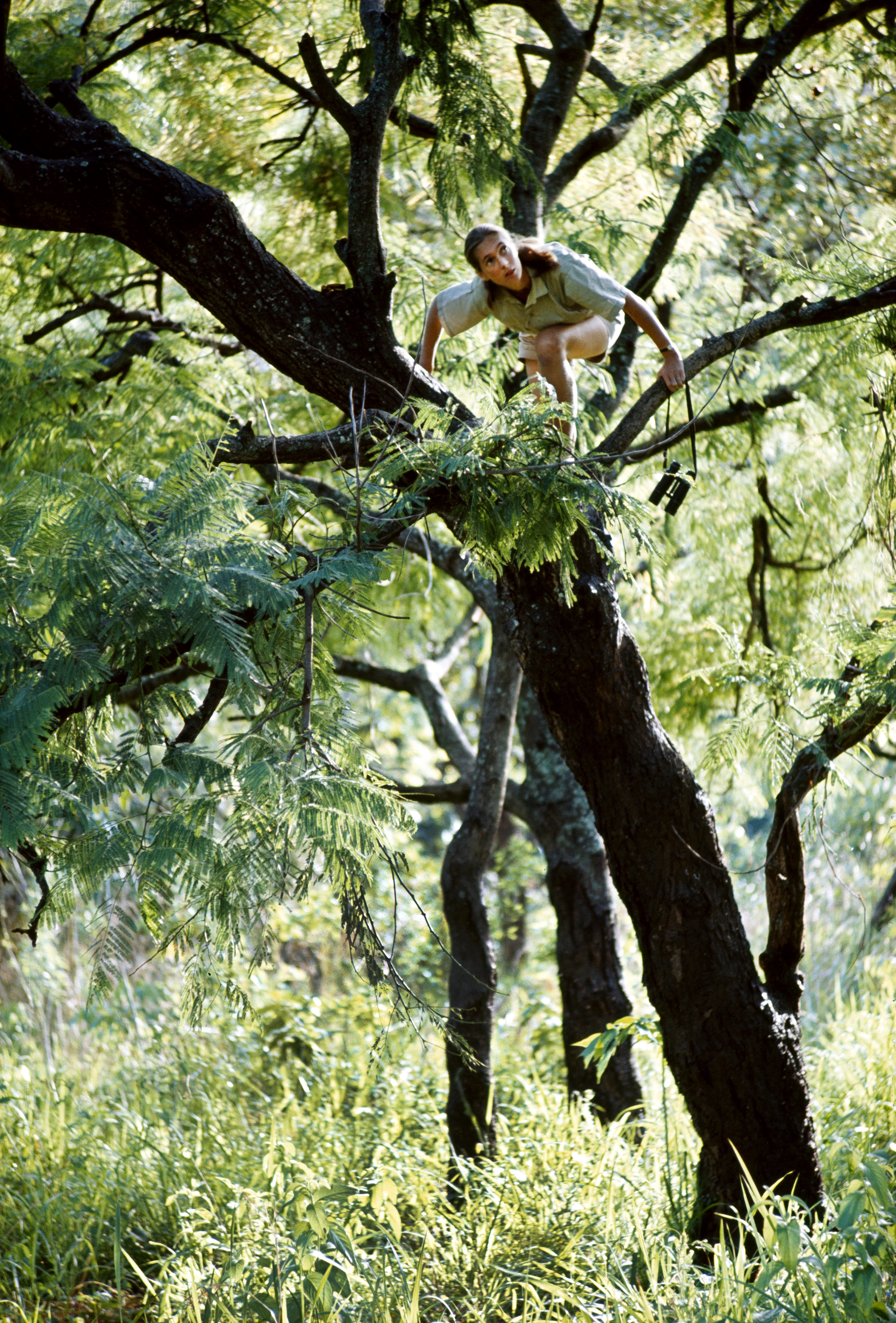 Zoologist with binoculars climbs a tree to better view chimpanzees.