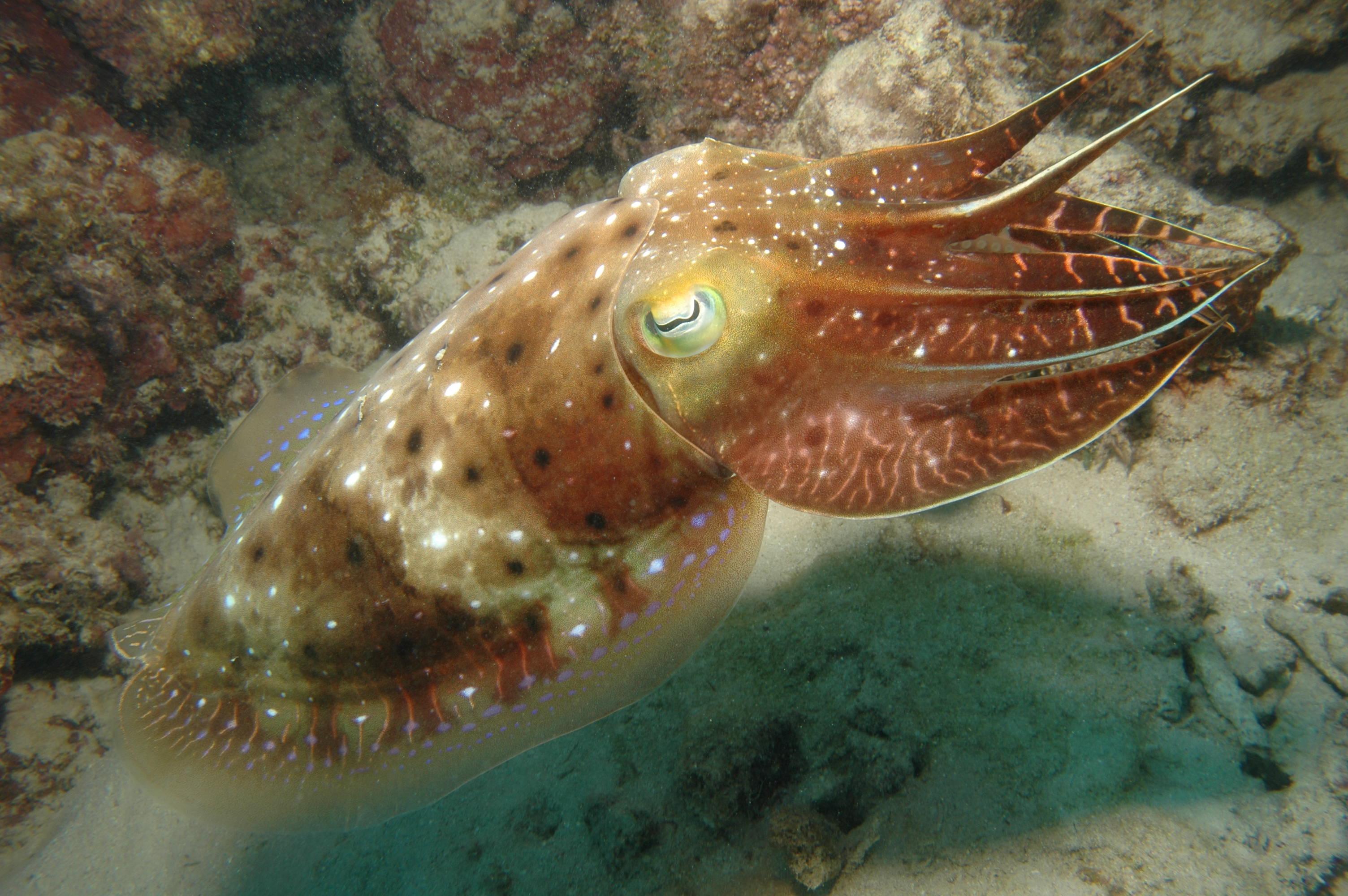 Cuttlefish,_Great_Barrier_Reef,_Cairns,_Australia